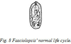 Fasciolopsis' normal life cycle